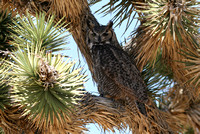 Great Horn Owl, Golden Valley, Arizona