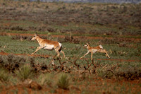 Pronghorn- Aubrey Valley, Arizona