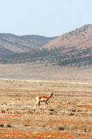 Pronghorn - Aubrey Valley, Arizona