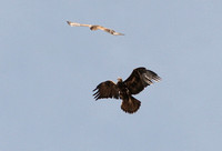 Golden Eagle + Ferruginous Hawk