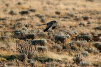 Northern Harrier, Male - Hualapai Valley, Arizona