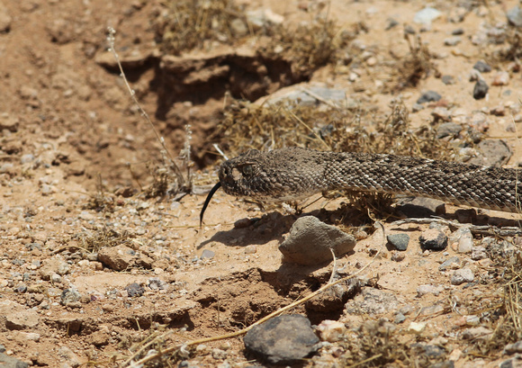 Mohave Green Rattle Snake