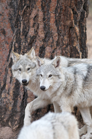 Tmber Wolves/Tundra Wolves