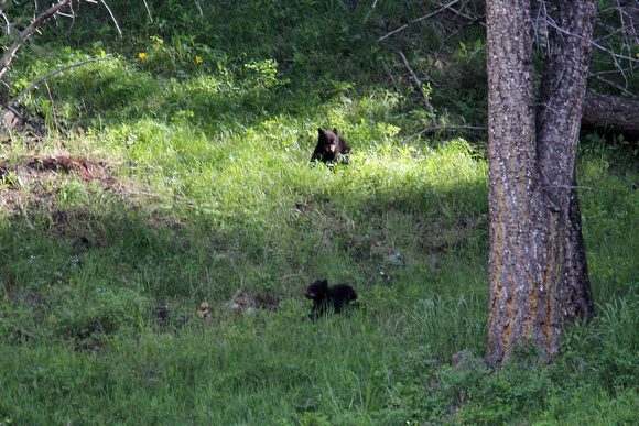Black Bear Cubs - Yellowstone, Wyoming