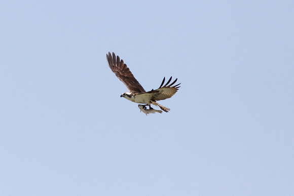 Osprey with Fish (Fish Hawk)