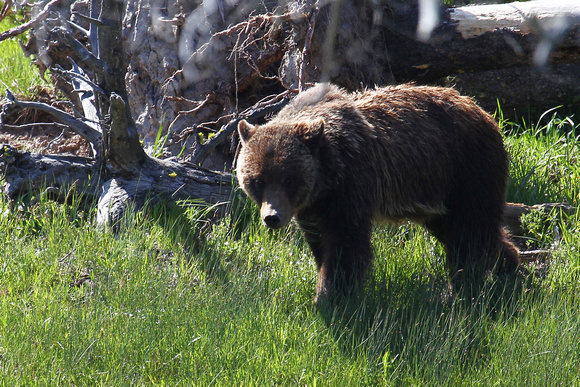 Grizzly Bear - Yellowstone, Wyoming